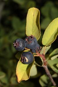 Amelanchier_alnifolia